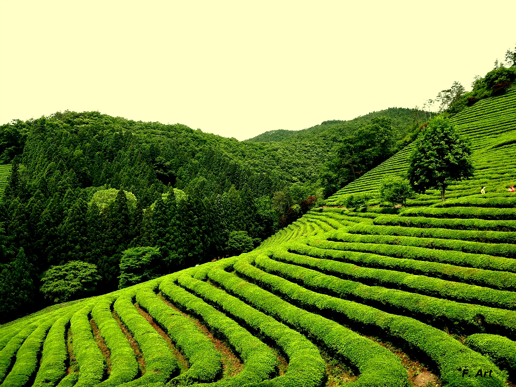 Terrace Farming - Green Tea - Boseong, Korea