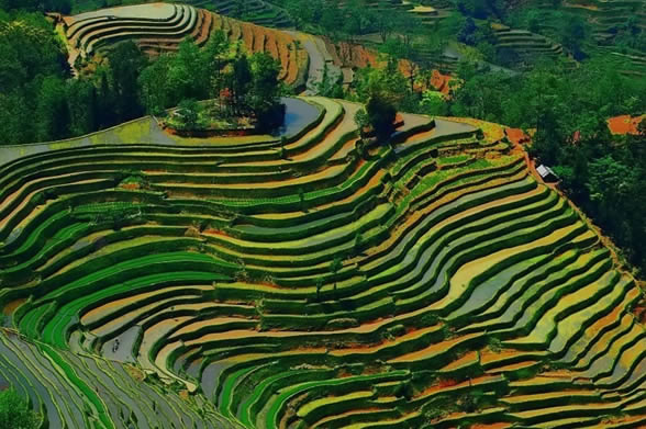 Terrace Farming - Rice - Guilin, China