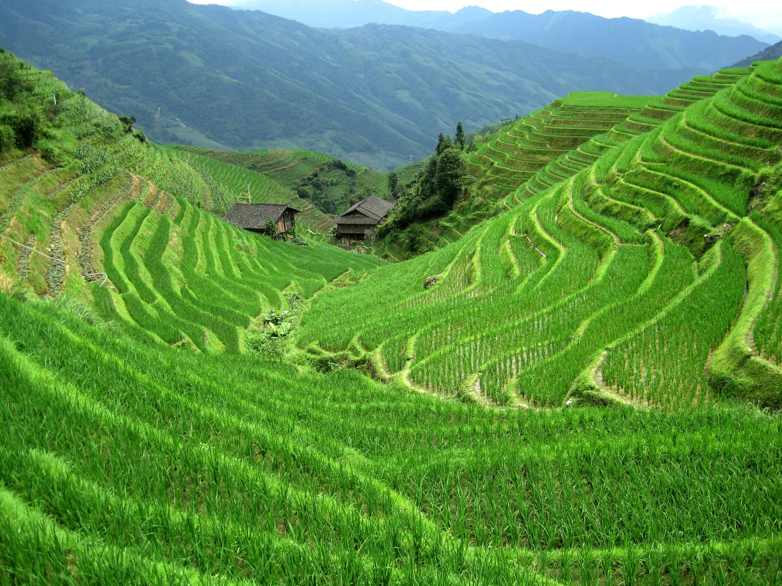 Terrace Farming - Rice - Japan